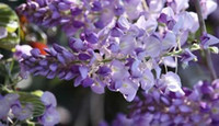beautiful lawn - Chinese Wisteria Flowers Seeds DIY beautiful garden Patio Lawn Garden plants bonsai