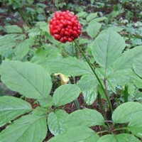 ginseng   Wholesale - RARE 50+ Hardy Chinese korea panax ginseng seeds Wild ginseng seed free shipping