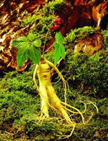 ginseng   Wholesale - RARE 100+ Hardy Chinese korea panax ginseng seeds Wild ginseng seed free shipping