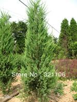 other Bonsai Subtropics 50 ITALIAN CYPRESS Cupressus Sempervirens Tree Seeds Good Bonsai ~~~Free shipping!!