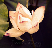 Wholesale SEEDS Weak Lin Yellow Lotus Flower Seeds Gorgeous Aquatic Label Lotus21