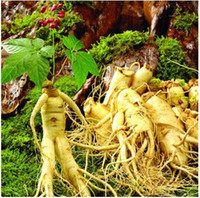 Grow Bags Bonsai Outdoor Plants 100%New high quality 20 Seeds Chinese hardy Panax Ginseng Korea Ginseng Seeds Free shipping