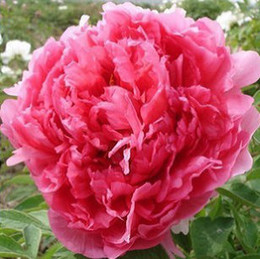 50pcs   lot Potted flower seeds red Peony Species peony seeds Potted tree peony Free shipping