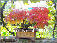 Flower Seeds   40 Small Beautiful Japanese Red Maple Bonsai Seeds HERMETIC PACKAGE*JAPAN MAPLE NEW SEEDS *Japanese Maple Tree Seeds,Mini Plants