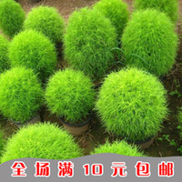 Wholesale Flower seeds Kochia scoparia indoor cardio balcony potted plants seeds Green Plants Bonsai