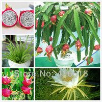 Wholesale 200 SEEDS WITH PROFESSIONAL PACKAGE DRAGON FRUIT SEEDS PITAYA HYLOCEREUS UNDATUS PITAYA CACTUS DIY Bonsai