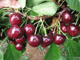 Black Sweet Cherry Seeds, Prunus Serotina Cherry Fruits Seeds, 50 seeds