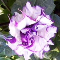 Wholesale 50 Moonflower quot Night Bloomers quot Ipomoea alba Packaged Seeds Impressive