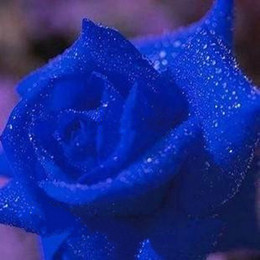 Wholesale Charming Blue Rose Seeds Seeds Per Package Bluelover Garden Plants
