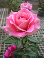 Hot Sale Free shipping seeds Rose Red Rinbow Black Pink Yell...