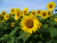 sunflower seeds - Sunflower helianthus annuus seeds dwarf sunflower flower seeds Yellow Flower DIY garden supplies
