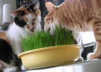 Wholesale Organic Fresh Cat Grass Seeds Whethergrass Seeds Great Cat Grass Rabbit grass Chicken Grasss Dog grass Pet Grass