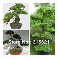 Foliage Plants Temperate Perennial Rare Species Pseudolarix amabilis Tree seeds World Famous Tree Garden Landscaping Bonsai Seed 30pcs bag Free Shipping
