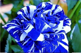 Wholesale Blue And White Rose Seeds Pieces Seeds Per Package Two Colors Garden Plants