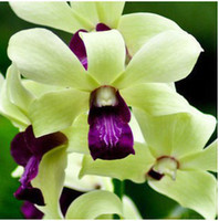 Wholesale 100pcs Mix color Butterfly Orchid Flower Seeds Phalaenopsis Bonsai flower plant seeds