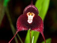 Wholesale Hot Potted Peru Monkey Face Orchid Seeds Dracula simia Senior Phalaenopsis Bonsai Plants Flower Seeds