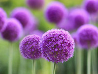 Flower Seeds allium garden - Lovely New Home Garden Giant Allium Globemaster Allium Giganteum Flower Seeds