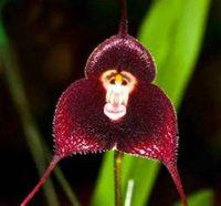 Семена цветущие Цены-4 цвета обезьяны Face Orchid Семена Прекрасный сад семена цветов Хозяйственные товары Семена растений Легко выжить подарка промотирования 10pcs / lot