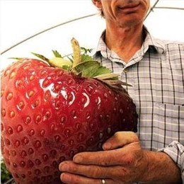 Wholesale Big promotion big giant red fruit strawberry seeds DIY Garden fruit seeds balcony seeds K07760