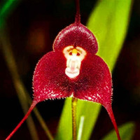 Wholesale Flower pots planters Beautiful Monkey face orchids seeds Multiple varieties Bonsai plants Seeds for home amp garden seeds K07761
