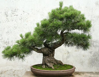 Decorative Stones Bonsai  Free Shipping 30pcs bag Japanese pine tree seeds bonsai seeds