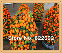 Wholesale 50 Mini Potted Edible Fruit Seeds Bonsai Orange Seeds China Quanzhou Climbing Orange Tree Seeds Climbing Plants Gift