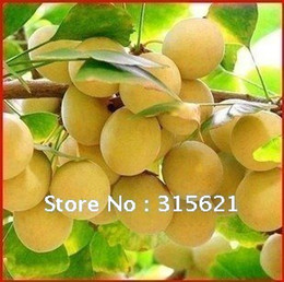 Wholesale Free Shiping Gingko Tree Seeds Agricultural Forestry Ginkgoales Tree Fruit Edible Leaf Can Be Tea Pieces