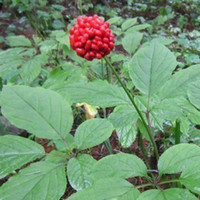 Tree Seeds Herbs Subtropics Wholesale - RARE 100+ Hardy Chinese korea panax ginseng seeds Wild ginseng seed free shipping