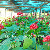 Tree Seeds Herbs Outdoor Plants Wholesale - RARE 50+ Hardy Chinese korea panax ginseng seeds Wild ginseng seed free shipping