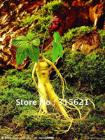 Tree Seeds Bonsai Shandong China (Mainland) Panax Ginseng Seeds Traditional Chinese Medicine Potted Plant Original Packed Free shipping