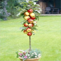 Tree Seeds Bonsai Outdoor Plants Free Shiping Bonsai Apple Tree Seeds (20 Pieces per bag) Minimum order 5$