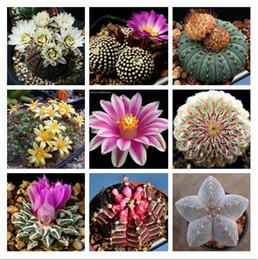 Wholesale Succulent Plant Wholesale - New Arrival 40pcs lot Home Garden Plant Mixed-colors Cactus Finest Succulent Flower Seeds Free Shipping