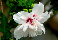 Wholesale New Arrival Home Garden Mixed Rose Of Sharon Hibiscus Syriacus Flower Tree Bush Seeds
