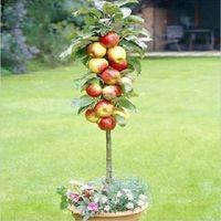 Tree Seeds Bonsai Outdoor Plants Free Shiping Bonsai Apple Tree Seeds (20 Pieces per bag) Minimum order 5$