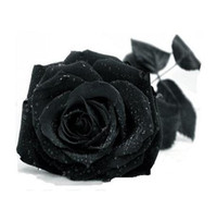Wholesale Seeds Rare black Rose Flower Lover Multi color Plants Home GardenChina Rare black Rose Flower