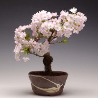 Wholesale Hot Selling Sakura Seeds Bonsai Flower Easy To Plant DIY Home Garden