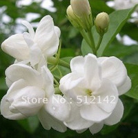 Wholesale Limited Temperate Exotic Seeds Plastic Pot Seeding Paeonia Seed Jasmine Flower Seeds Pack About Pieces Diy Home And Garden