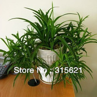 Wholesale Wide Blade Chlorophytum Seed Fam Office Computer Table Green Foliage Plants Seed Clean Air