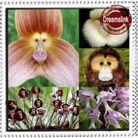 Wholesale Flower pots planters Beautiful Monkey face orchids seeds Multiple varieties Bonsai plants Seeds for home amp garden seeds