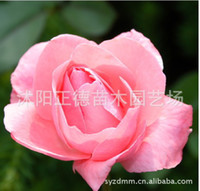 Wholesale Free delivery rose flower seed seed Colors Rose Seeds Plant Seed Colourful Flower Home Yard Garden Easy fg3