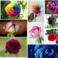 Wholesale kind Colors Rose flower Seeds Plant Seed Colourful Flower Home Yard Garden Easy to Survive