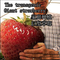 Wholesale 50pcs big giant red fruit strawberry seeds DIY Garden fruit seeds balcony seeds