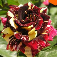Wholesale Professional packing seeds pack MEMPHIS MUSIC MINIFLORA ROSE ROSE BUSH DEEP RED WHITE
