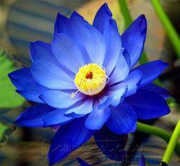 Wholesale SEEDS Blue Moon Lotus Flower Seeds Gorgeous Lotus Aquatic Plants Label Lotus6