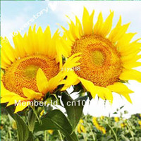 Wholesale Skyscraper quot feet tall quot Sunflower Seeds Easy to grow