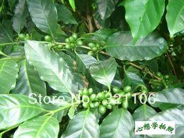 Wholesale Kona Coffee Bean Tree Seeds Coffea Gourmet Tropical