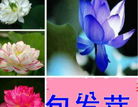 Wholesale Lotus flower Seeds Varieties Nelumbo Nucifera Chinese Specialties Flower Seeds Aquatic plants seeds