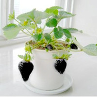 Fruit Seeds   50pcs Bonsai Black Strawberry Seeds Beautiful Plant Delicious Fruit For Home Garden Table Green Plants Free shipping