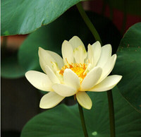10PCS Lotus Seeds Bowl Water Lily Nelumbo Nymphaea Pond Plants ...