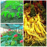 Cheap 20pcs Precious American Ginseng Seeds Panax quinquefolium L Precious Ginseng Health Plant Free shipping